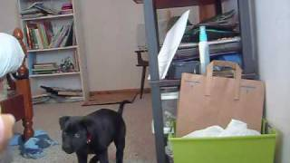 Nika Retrieve Training ~ 7 Week Old Lab Puppy