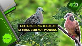 Fakta burung Tekukur
