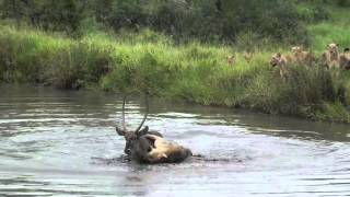 Lions swim to get a meal