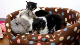 関西シェットランドシープドッグ子犬販売 http://www.at-breeder.net/sh...