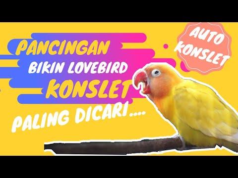 Masteran Lovebird Konslet Ngekek Panjang: Suara Konslet Minor Dobelan Jernih (PALING DICARI)