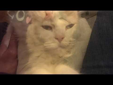 Life with a Turkish Van Cat