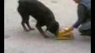 Rottweiler Attacks Toys