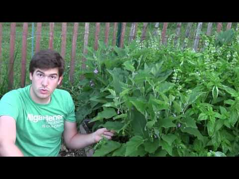 how-to-grow-eggplants---complete-growing-guide