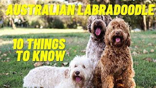 Australian Labradoodle  Top 10 Things To Know About the Australian Labradoodle Puppies and more