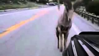 Убойное видео!Горный баран против джипа,приколы с животными!