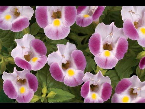 Вопрос: Торения, что это за цветы Комнатные или садовые?