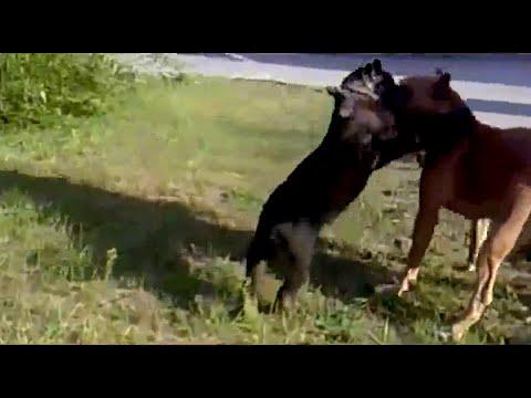 Pitbull vs puma.  Pitbull fights puma