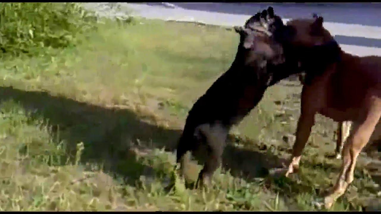black puma pitbull