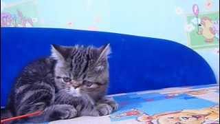 Мраморный короткошерстный кот экзот