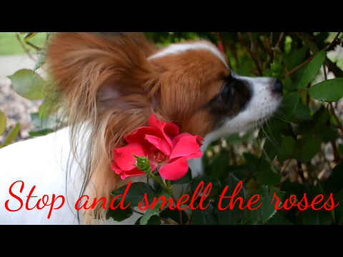 Percy the Papillon Dog: This is What I Do