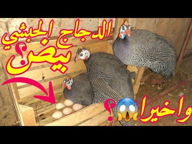 واخيرا الدجاج الحبشي او مايسمى بالفرعوني وضع بيض موعد تكاثر الدجاج الحبشي Youtube