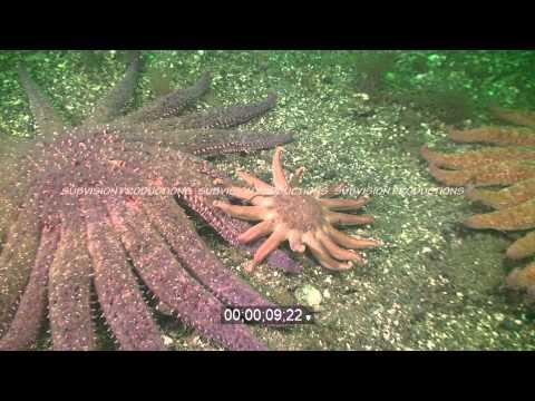 Sunflower Starfish Chased By Morning Sun Starfish HD Underwater Stock Footage