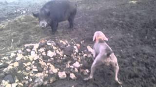 Weimaraner Bonita And Wild Boar