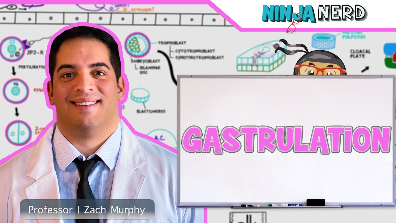 Download Embryology | Gastrulation