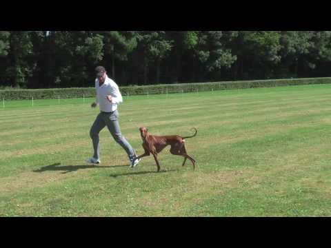 Azawakh, THE Sighthound!