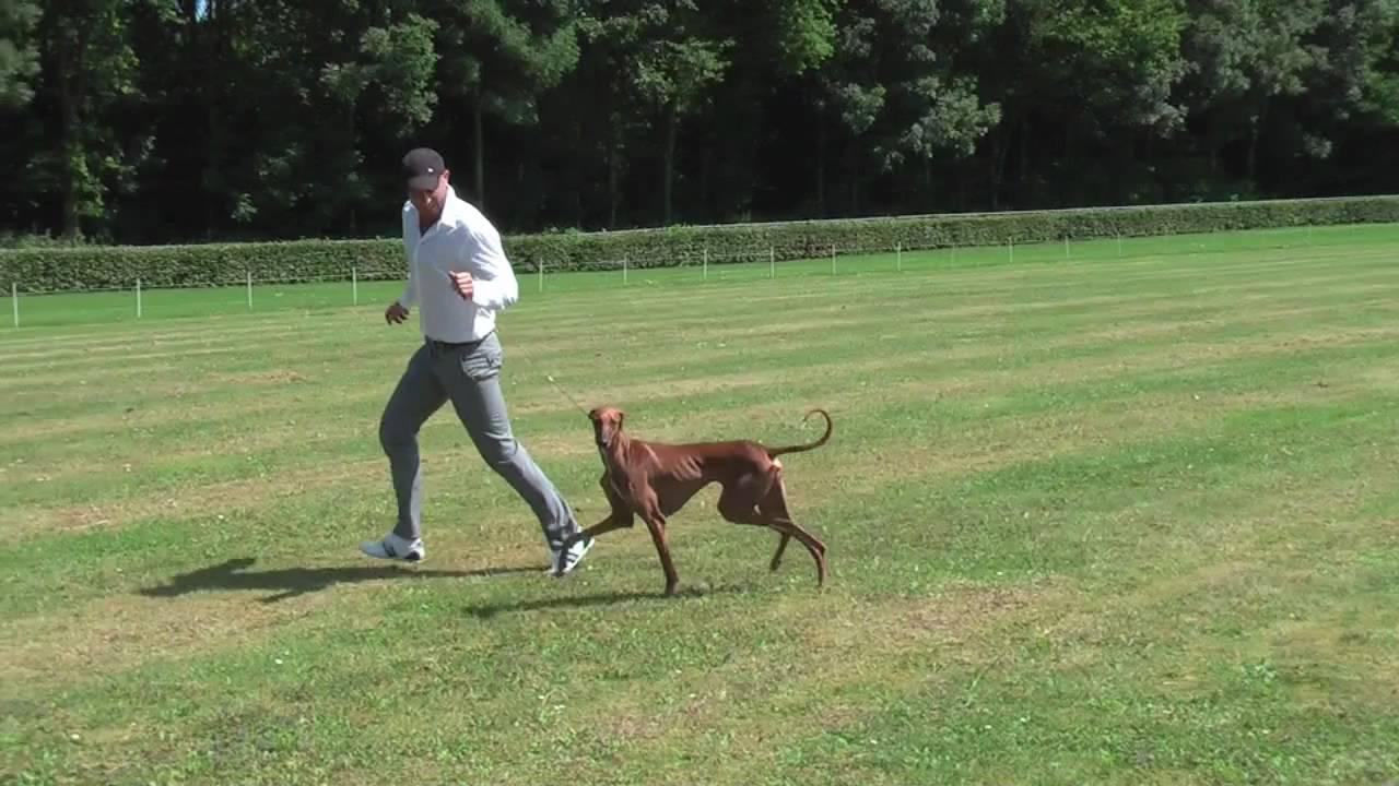 Azawakh The Sighthound You