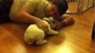 Palu The English Bulldog Puppy - Playing With My New Daddy