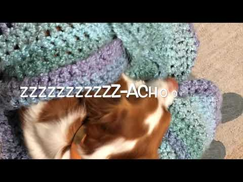 Cute And Funny Brittany Spaniel Video #2