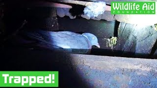 Pigeon falls down a chimney!