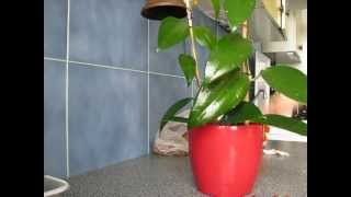 Hydroponics - Hoya rigida.wmv