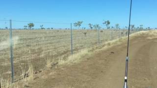 Kangaroos in Australian outback trapped inside new dingo fence filmed by aussieoutbackcrew