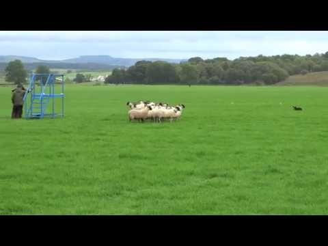 International Sheepdog Trials Supreme 2015 Glencregg Silver