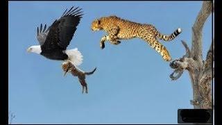 Matka gepard uratować dziecko niepowodzenie i polowanie orzeł zemsty