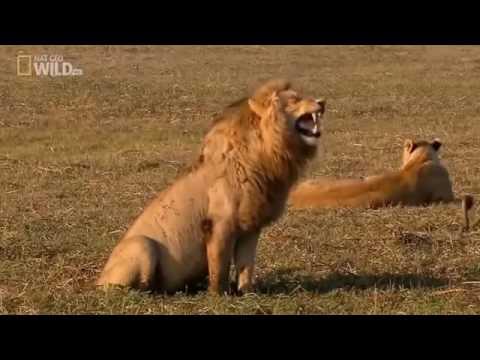 Как смеется лев? Смешное видео с хохочущим львом