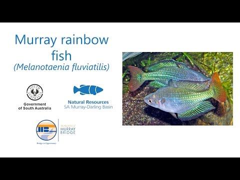 Murray Rainbow Fish