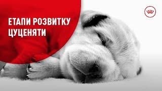 Як маленьке цуценя стає дорослим собакою?
