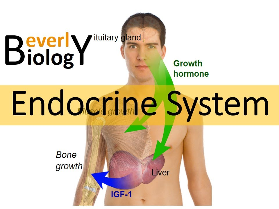 Hormones & the Endocrine system (updated) - YouTube