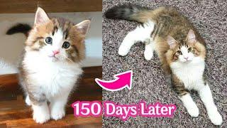 아기 노르웨이숲 고양이 프란츠의 성장 기록 150일