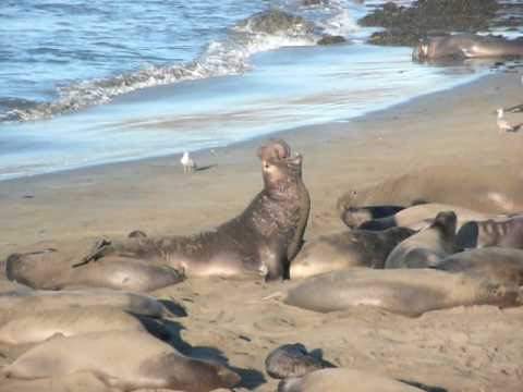 Elephant Seals Just North of San Simeon, California