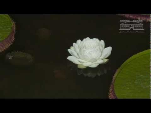Vitoria-regia no Jardim Bot?nico Plantarum.mpg - YouTube