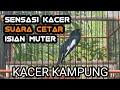 Kacer Gacor Full Isian Volume Cetar  Mp3 - Mp4 Download