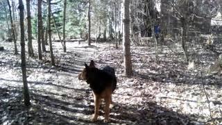 Хвост вертит собакой