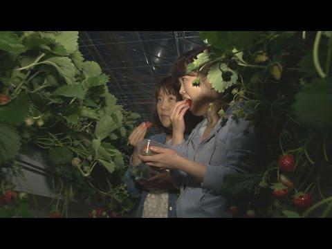 幻想的に夜のイチゴ狩り 宮城・山元の農園