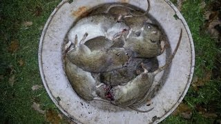 Rat Shooting - Shoot First, Focus Later!