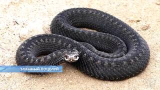 Змеи Беларуси: кого стоит бояться? Что делать, если укусила змея? Первая помощь
