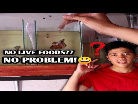 D.I.Y Fish Food For My Betta Fishes |High In Protein(english Sub)