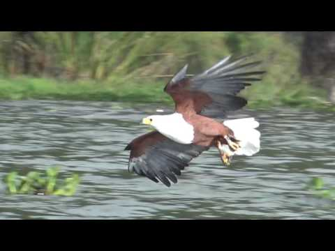 African Fish Eagle At Lake Naivasha, Kenya