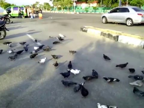 PIGEONS SET MEAL TOGETHER OUTSKIRT OF THE RING ROAD