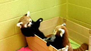 red panda babies being adorable