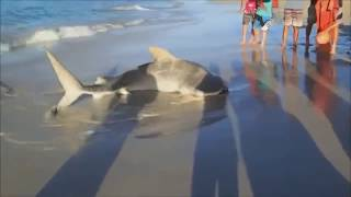 TIGER SHARK rare footage - Stranded Tiger Shark is rescued by 3 men