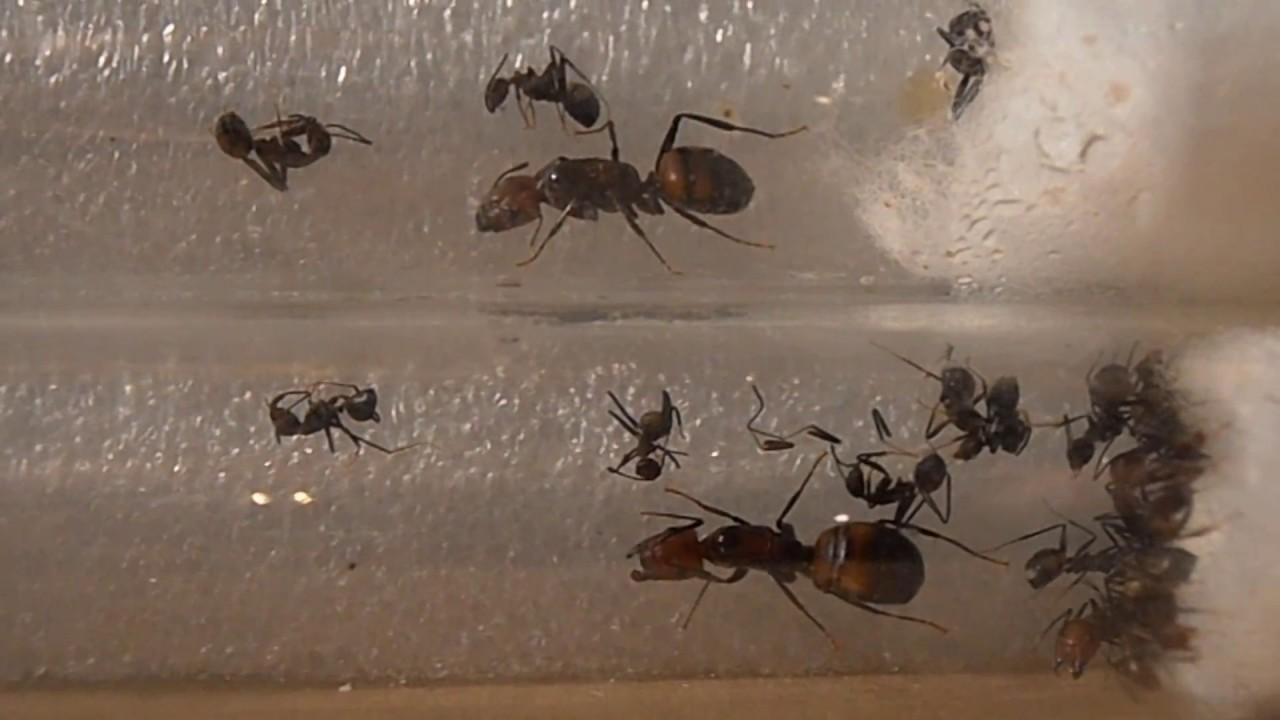 Camponotus nicobarensis достаточно робкий вид. Как правило, муравьи уклоняются от стычек, но будут яростно защищать свои гнезда в случае.