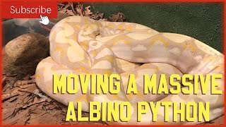 MOVING A MASSIVE ALBINO PYTHON!!
