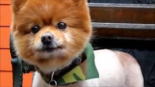 Pomeranian Neutered Male Brandonb Ken Marrescue 1 25 13