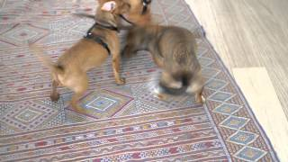 Baloo The Dachshund Cross Plays With Miniature Pinchers