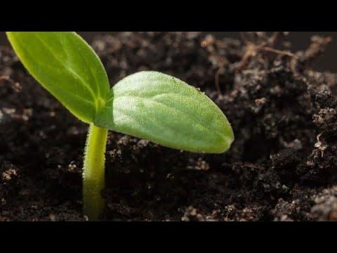 Salatalık Tohumu Nasıl Ekilir?